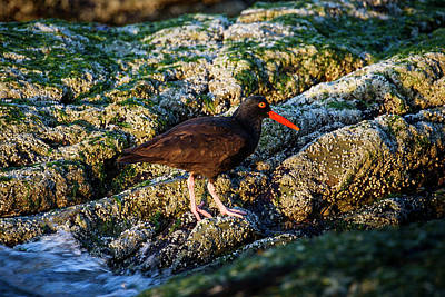 Photograph - The American Black Oystercatcher by Robert L. Potts