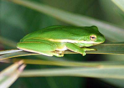 The American Green Tree Frog Art Print by Kim Pate