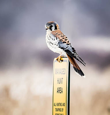 Photograph - The American Kestrel by Ricky L Jones