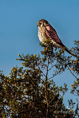 Photograph - The American Kestrel  by Robert Bales