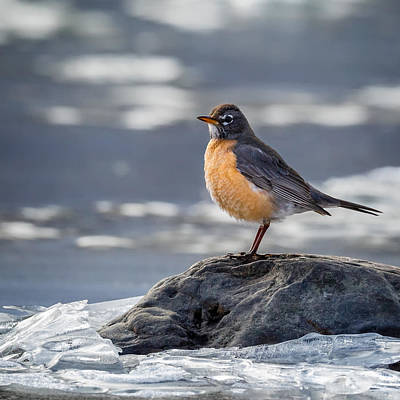 Robin Photograph - The American Robin Square by Bill Wakeley