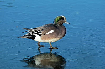 Penelope Wall Art - Photograph - The American Widgeon (anas Penelope by Richard Wright