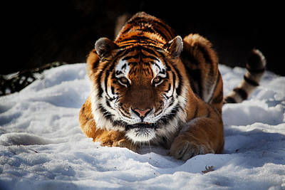 Photograph - The Amur Tiger by Karol Livote
