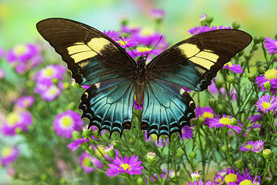 Blue Swallowtail Photograph - The Androgeus Swallowtail, Queen Page by Darrell Gulin