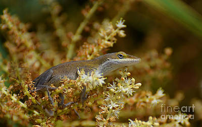 Photograph - The Anole by Kathy Baccari