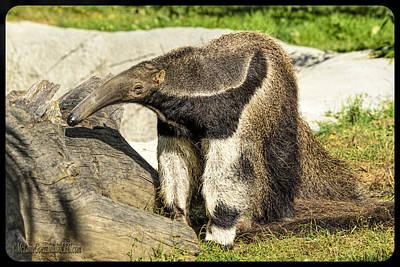 Anteater Photograph - The Anteater  by LeeAnn McLaneGoetz McLaneGoetzStudioLLCcom
