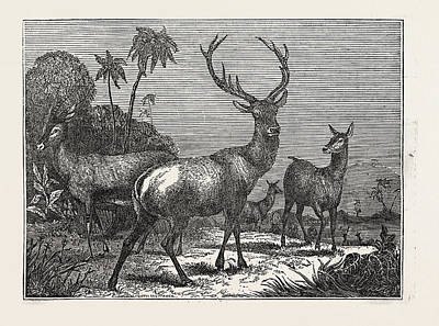 Antelope Drawing - The Antelope, The Hart by Litz Collection
