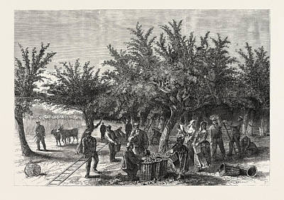 The Apple Harvest In Jersey Art Print by English School