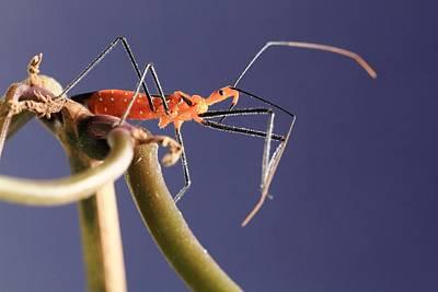 Arthropoda Photograph - Assassin Bug by Katrina Lau