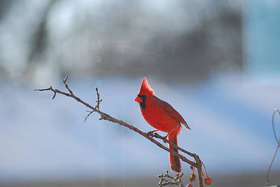 Photograph - The Awesome Cardinal by Wanda Jesfield
