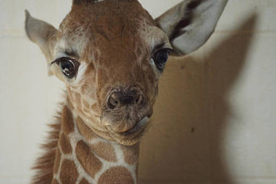 Photograph - The Baby Giraffe by Ernie Echols