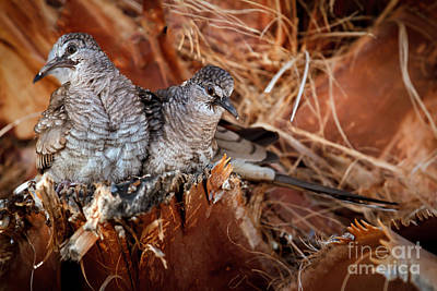 The Baby Inca Doves Print by Robert Bales