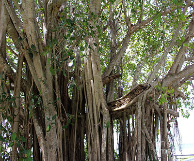 Photograph - The Banyan Tree by Megan Dirsa-DuBois