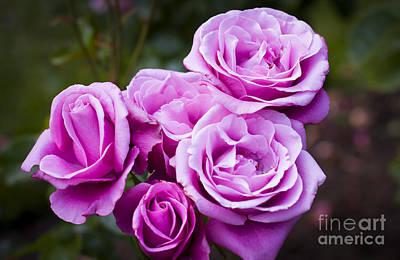 Photograph - The Barbara Streisand Rose by Brian Jannsen