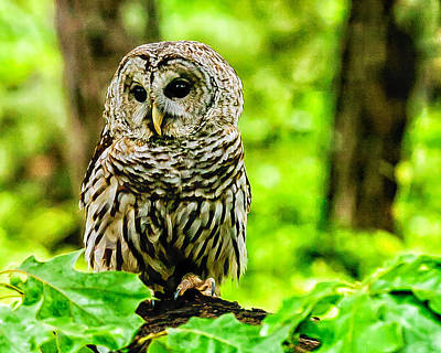 Medford Photograph - The Barred Owl by Louis Dallara