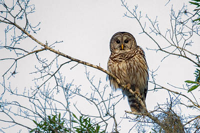 Print featuring the photograph The Barred Owl by Phil Stone