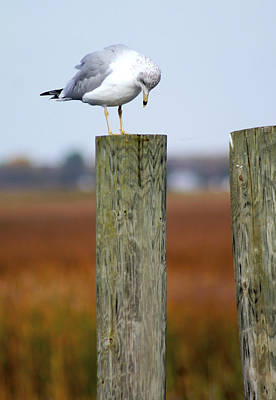 Photograph - The Bashful Seagull by Danielle Allard