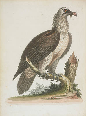 Vulture Wall Art - Photograph - The Bearded Vulture by British Library