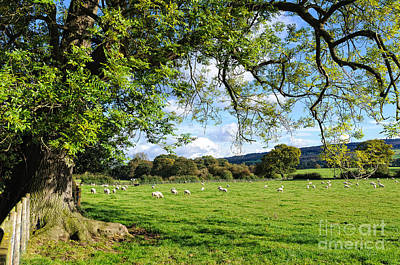 The Beautiful Cheshire Countryside - Large Oak Tree Frames A Field Of Lambs Art Print