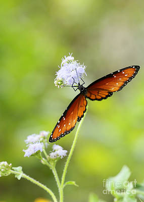 Photograph - The Beautiful Queen Butterfly by Sabrina L Ryan