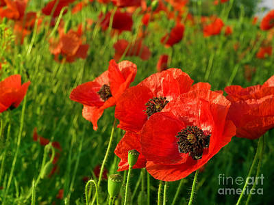 The Beautiful Red Poppies Art Print by Boon Mee