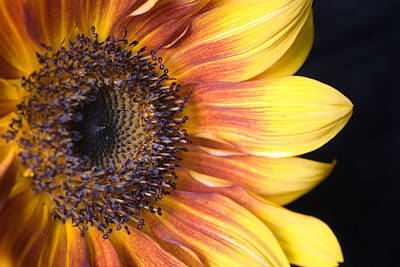 The Beautiful Sunflower Art Print by Scott Campbell