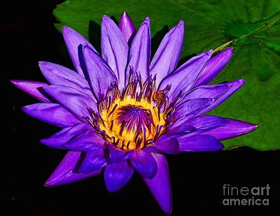 Photograph - The Beauty Of A Water Liliy by Nick Zelinsky