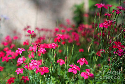 Photograph - The Beauty Of Maiden Pinks by Ismo Raisanen
