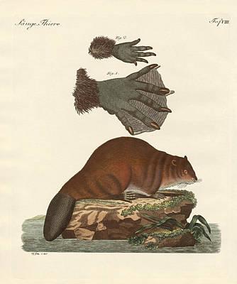 Beaver Drawing - The Beaver by Splendid Art Prints