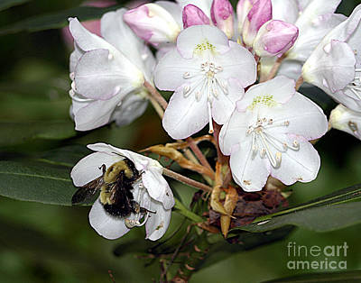 Photograph - The Bee And The Rhododendron by Arizona  Lowe