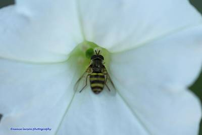 Photograph - The Bee At Work by Nance Larson
