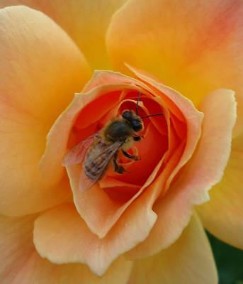 Photograph - The Beekeeper by Leslie Manley