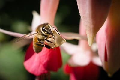 Photograph - The Bee's Knees by Priya Ghose