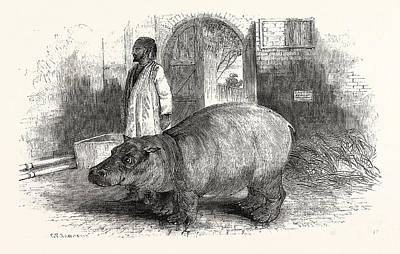 Hippopotamus Drawing - The Behemoth, Or Hippopotamus by English School