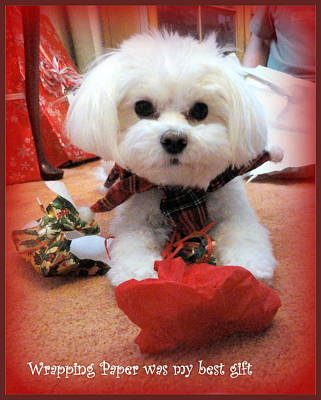 Maltese Puppy Photograph - The Best Gift by Mary Beth Landis