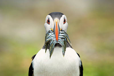 Puffin Wall Art - Photograph - The Big Catch by Fegari
