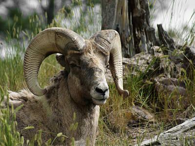 Big Horn Sheep Photograph - The Big Horn by Ernie Echols