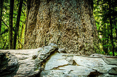 Photograph - The Big Tree Collection 2 by Roxy Hurtubise