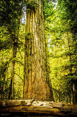 Photograph - The Big Tree Collection 3 by Roxy Hurtubise