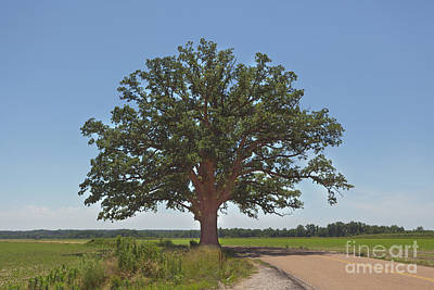 Photograph - The Big Tree by Kay Pickens