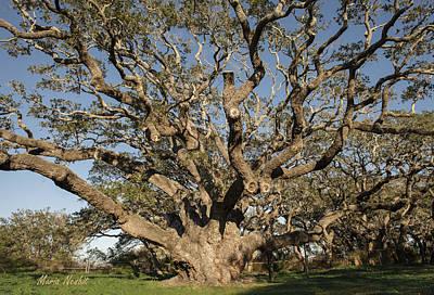 Photograph - The Big Tree by Maria Nesbit