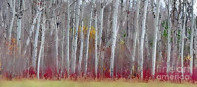 The Birches Panorama  Art Print