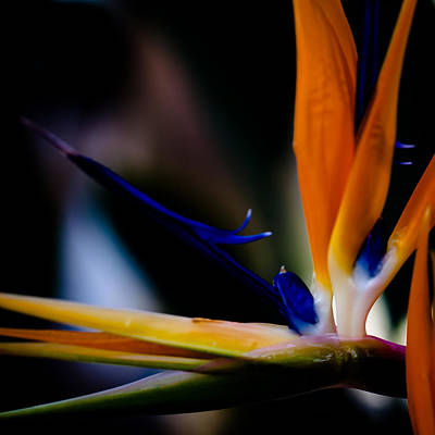 Yellow Bird Of Paradise Photograph - The Bird Of Paradise by David Patterson