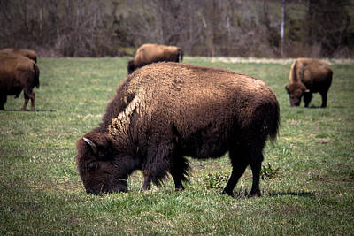 Bison Digital Art - The Bison by Al Gleason