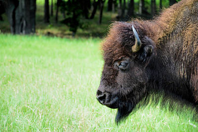 Photograph - The Bison by Jeanne May