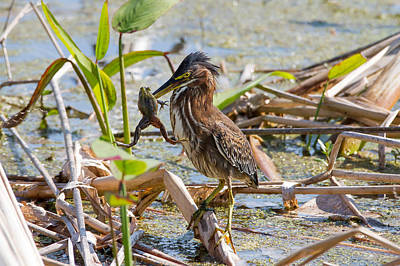 Print featuring the photograph Green Heron And Frog by Phil Stone