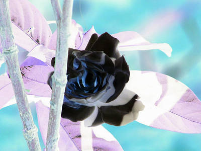 Photograph - The Black Rose by Debi Singer