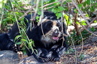 The Black Spectacled Bear Is The Only Art Print