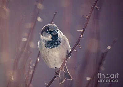 Animal Portraits Royalty Free Images - The Black Throat Sparrow Royalty-Free Image by Janice Pariza