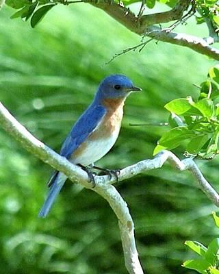 Photograph - The Blue Bird by Kim Bemis